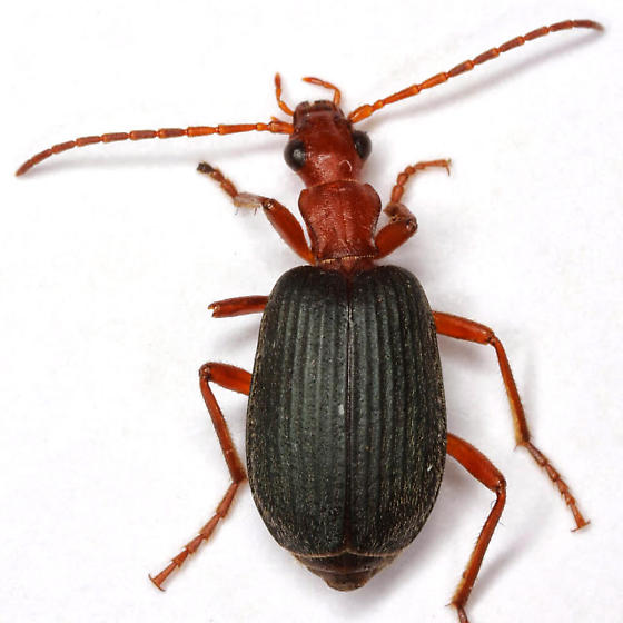Brachinus elongatulus Chaudoir - Brachinus elongatulus