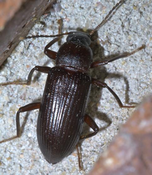 Dark brown beetle with white antenna tips - Strongylium terminatum