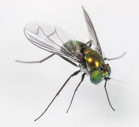 Longlegged Fly - Condylostylus patibulatus