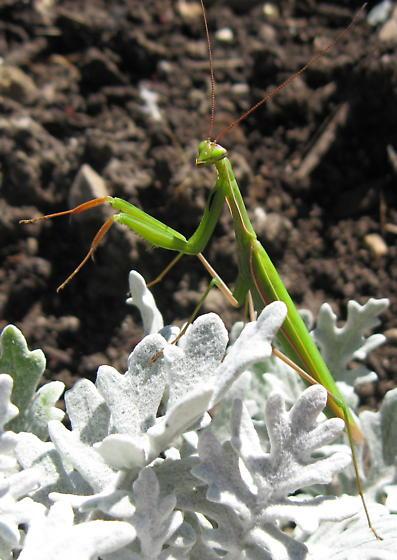 European Praying Mantis - Mantis religiosa