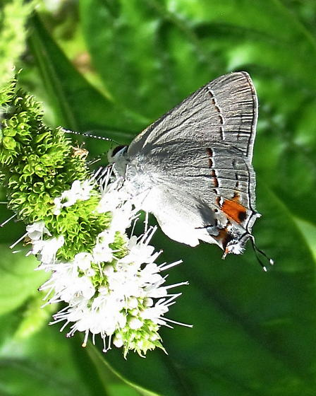 Gray Hairstreak Butterfly wing flaring behavior - Strymon melinus