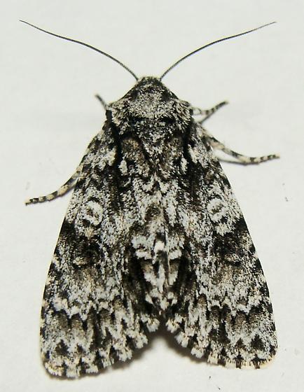 Marble Dagger Moth - Acronicta marmorata