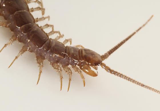 Stone Centipede, Lithobiidae, head - Lithobius forficatus