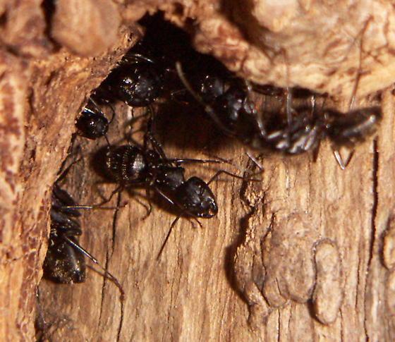 Camponotus - Camponotus pennsylvanicus