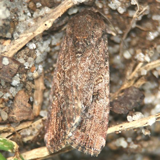 Fall Armyworm Moth - 9666 – Dorsal - Spodoptera frugiperda - female