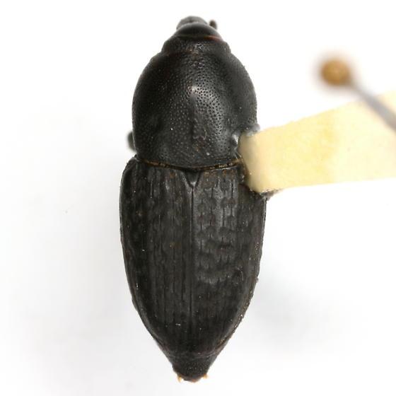Sphenophorus cicatristriatus Fåhraeus - Sphenophorus cicatristriatus