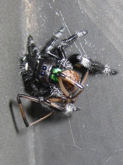 What is this spider? - Phidippus regius