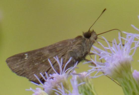 UnknownButterfly97 - Cymaenes trebius