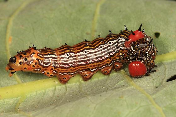 Red-humped Caterpillars - Schizura concinna