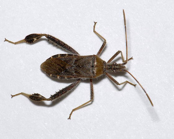 Which Leaf-footed Bug? - Narnia femorata