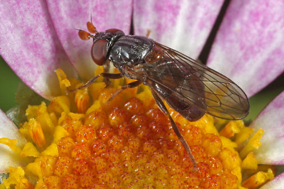unknown fly - Pelecocera