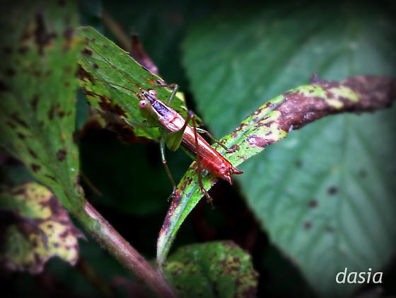 cricket? grasshopper? katydid? - Conocephalus brevipennis - male