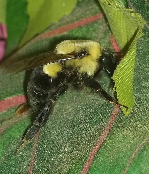 Unknown bumblebee - Bombus impatiens