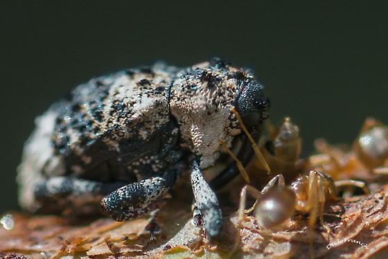 Possible weevil  - Cryptorhynchus lapathi