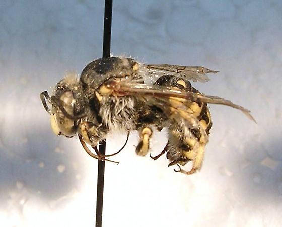 Megachilidae #9 - Anthidium - female