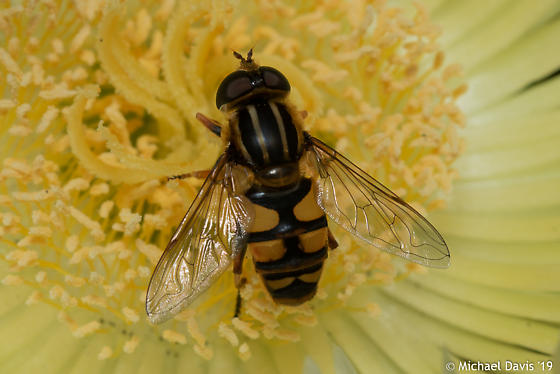 Large Unknown Fly - Helophilus fasciatus
