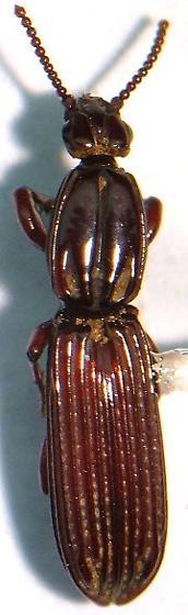 Rhysodid - Clinidium rosenbergi - male