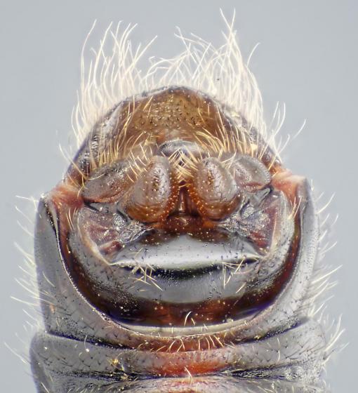 Taeniopteryx - male