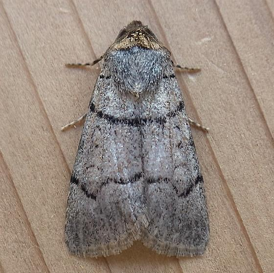 Noctuidae: Sympistis youngi - Sympistis youngi