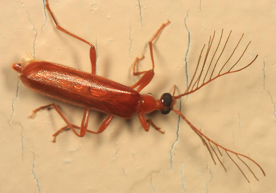 Fire-Colored Beetle - Dendroides concolor - male