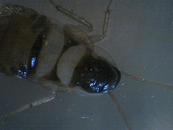Nymph of brown bandit cockroach? - Supella longipalpa