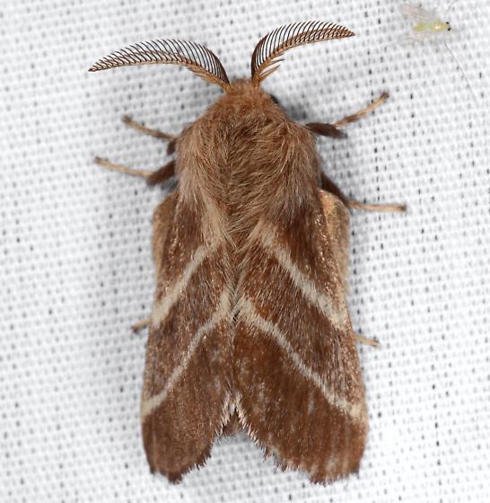 Malacosoma - Malacosoma americana - male