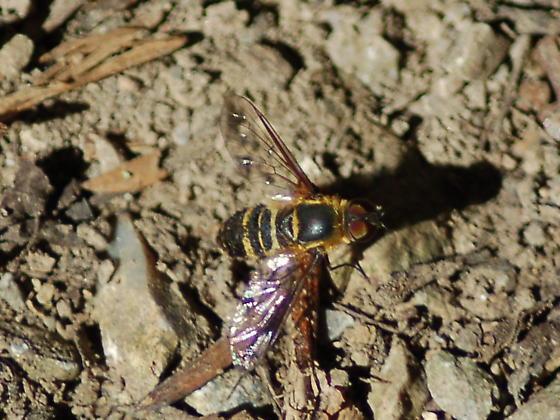 Bonbyliidae orSyrphidae? - Villa