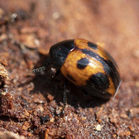 Fungus Beetle? - Diaperis maculata