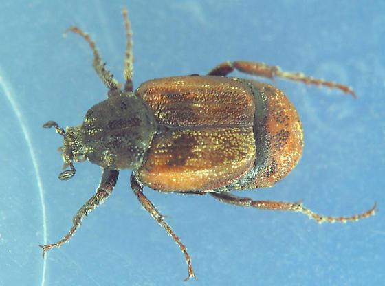 Which Valgus species? - Valgus canaliculatus - male