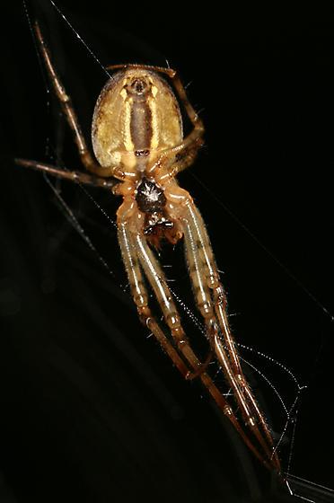 long-jawed orb-weaver - Metellina segmentata - female