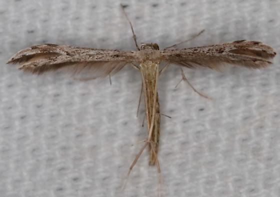 Pselnophorus belfragei - Belfrage's Plume Moth - Hodges#6154 - Pselnophorus belfragei