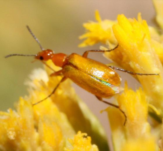 Flower Beetle? - Gnathium nitidum