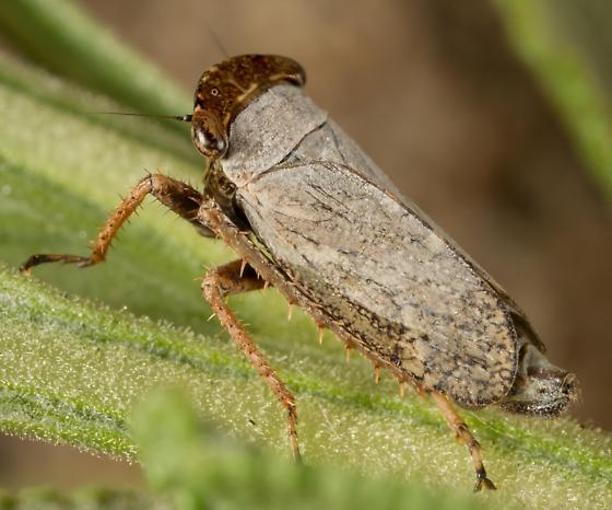 Leaf Hopper - Lystridea