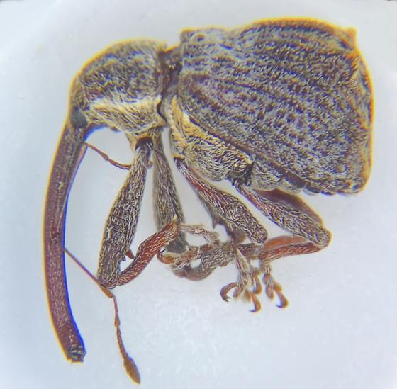 CURCULIONIDAE  Anthonomus quadrigibbus?  Snout and bark beetle - Anthonomus quadrigibbus