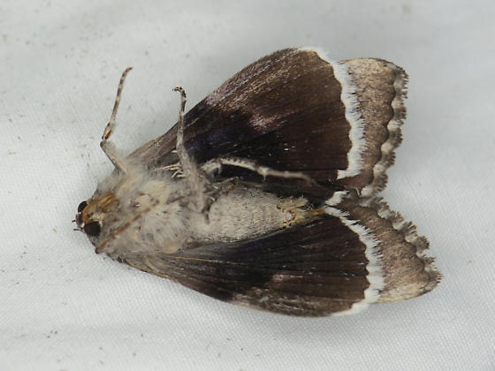 Unknown moth - Catocala epione