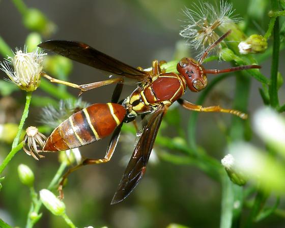 Polistes, but which one? - Polistes dorsalis - female