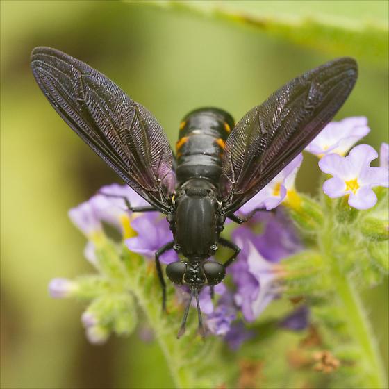 Diptera-ID please - Mydas fulvifrons