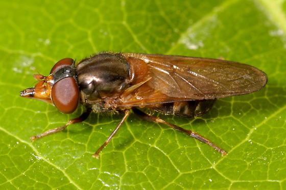 Syrphid Fly - Rhingia nasica - female