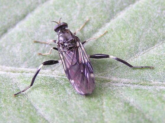New bug to check out. - Exaireta spinigera