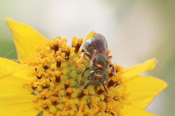 Bronze-y Sweat Bee - Augochlorella