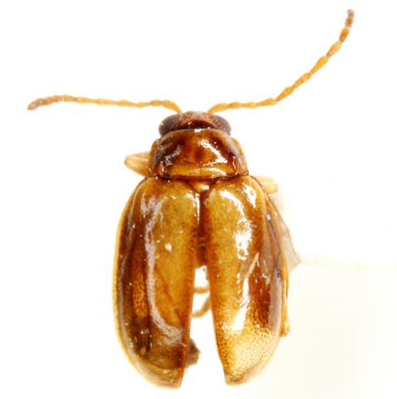 Monomacra bumeliae (Schaeffer) - Monomacra bumeliae - male