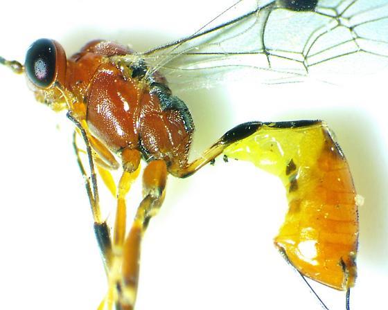 Pristomerus species - Pristomerus - female