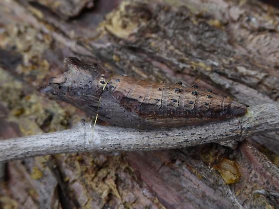 Western Tiger Swallowtail Larva 1st-3rd Instar - Papilio rutulus