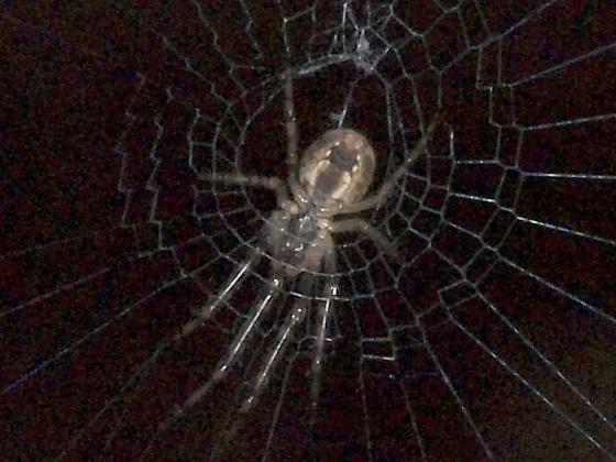 Tiny Spider 6, Ca Hazlenut - Metellina curtisi