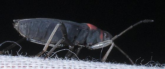 Unknown Bug - Largus sp.? - Melacoryphus rubicollis