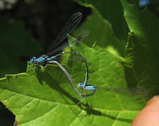 Enallagma traviatum - male - female