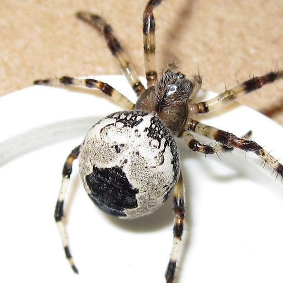 Adult female - Araneus marmoreus - female
