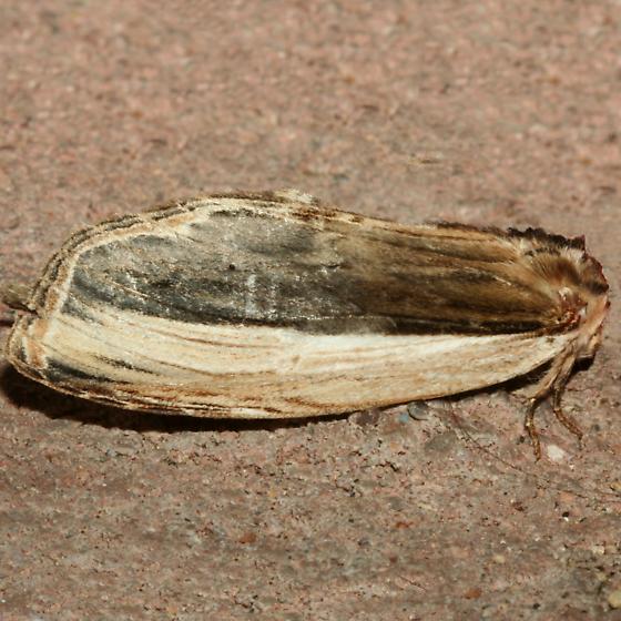 Moth - Lirimiris truncata