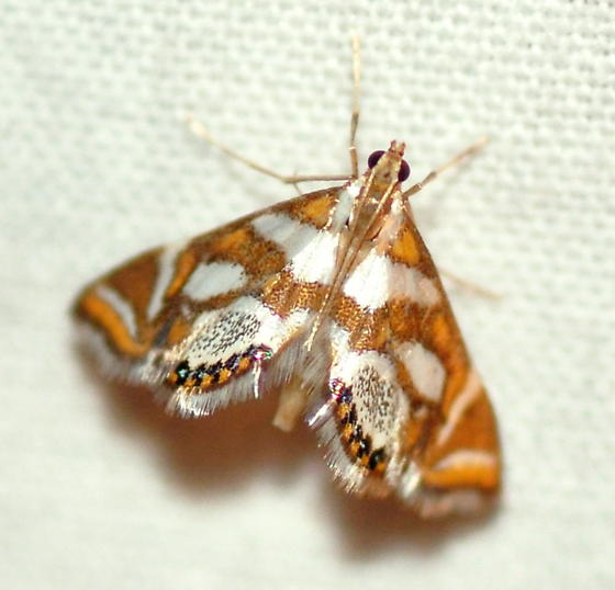 Bold Medicine Moth, 4744 - Chrysendeton medicinalis