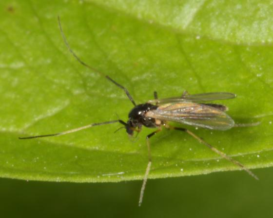 Midge? walking on a leaf - Paratendipes albimanus - female